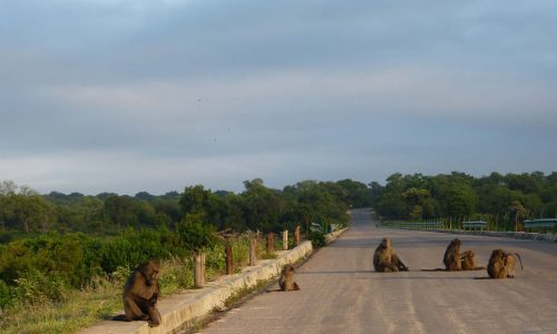 Baboons in Kruger National Park