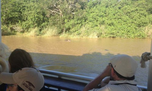 Hippos on St. Lucia Boat Cruise